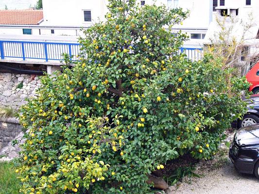 Der Zitronenbaum im Hof