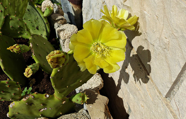 Schöne Kaktusblüte