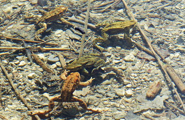 Kröten im See