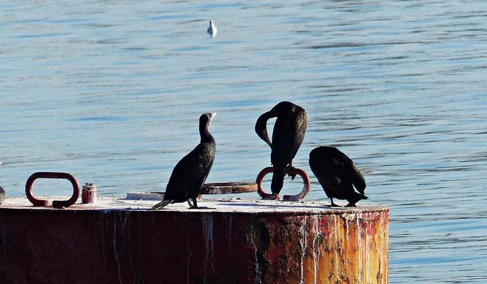 Kormorane im Hafenbecken von Split