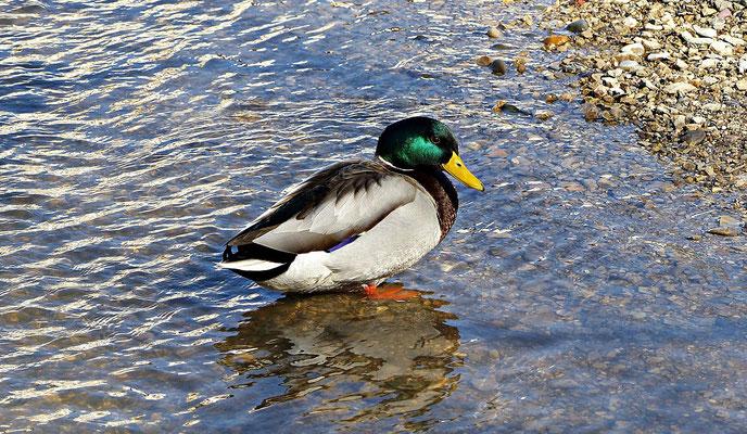Schöne Ente an der Wörnitz