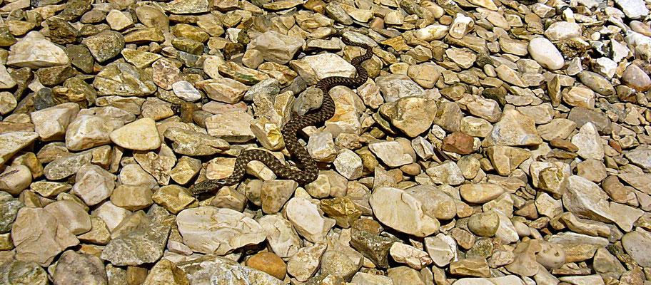 Wasserschlange in der Cetina