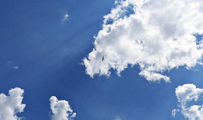 Ein Milan am Himmel