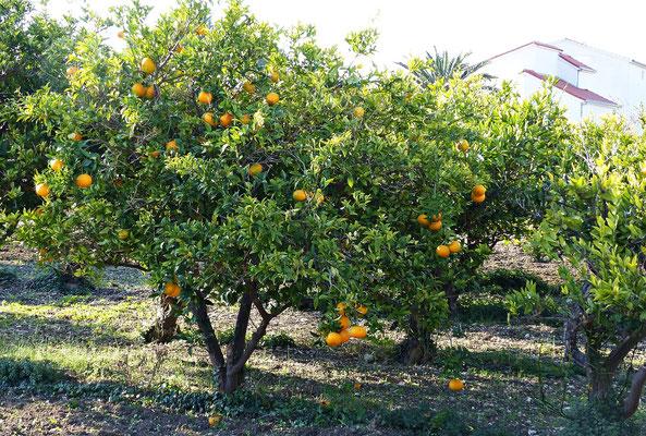 Orangenbaum im Dezember
