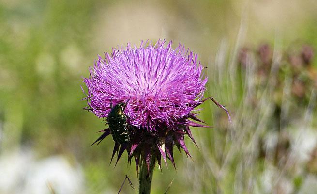 Käfer bei der Quelle der Cetina