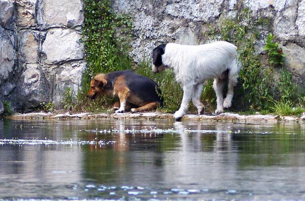 Durstige Hunde an der Pliva