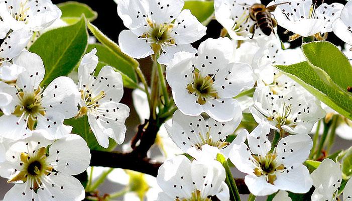 Praxiskus Obstbäume schneiden, Kreisverband für Gartenbau und Landespflege Rosenheim e.V.
