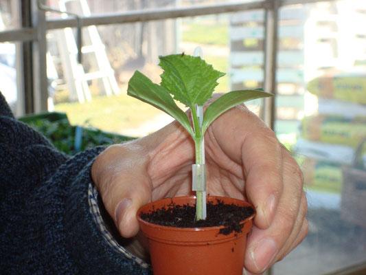 Praxiskurs Tomatenveredelung Kreisverband für Gartenbau und Landespflege