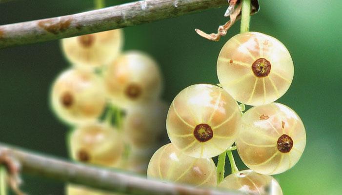 Praxiskus Beeren richtig schneiden, Kreisverband für Gartenbau und Landespflege Rosenheim e.V