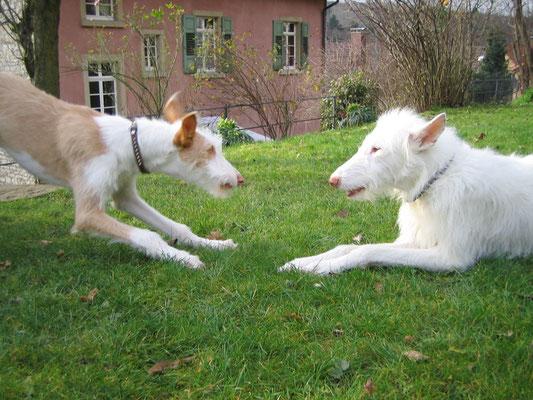 Zwei spielende Podencos im Werkhaus Garten
