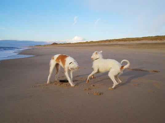 Zwei sollende Hunda am Strand von Sylt, Sansibar