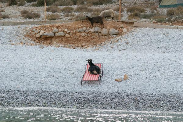 Ziege auf einer Liege in Griechenland