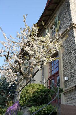 Blühender Kirschbaum vor dem Eingang des Werkhauses
