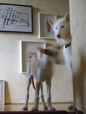 Zwei junge Podencos im Treppenhaus