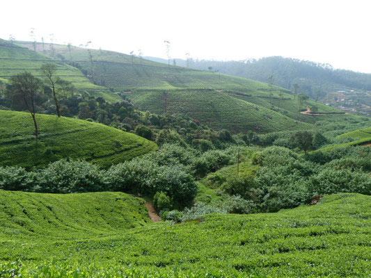 Teeroads und Teeplantagen