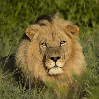 Löwe (Botswana)
