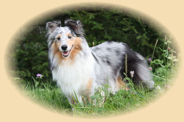 Divana of Sheltie Castle