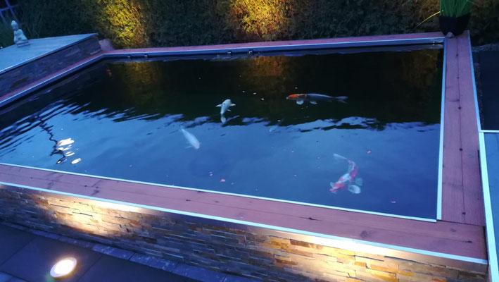 Japankoi zurück in den neuen Teich einsetzen glasklares Wasser im Koiteich durch Trommelfilter