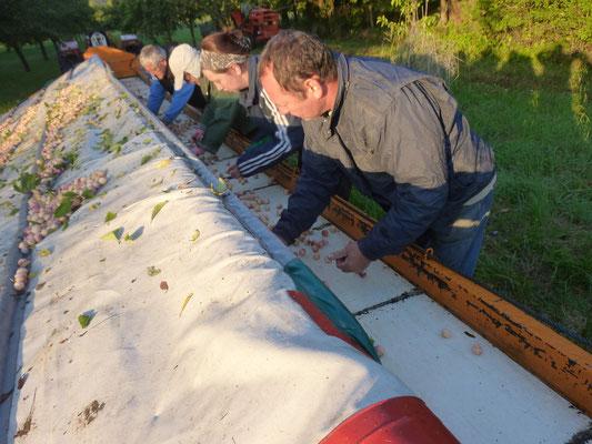 sur le tapis une équipe trie les fruits et evacue les franches cassées