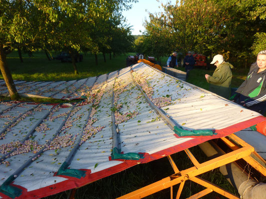 le tapis s'enroule et déverse les fruits sur un trapis transporteur