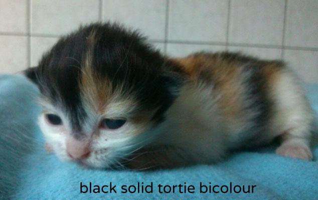black solid tortie bicolour