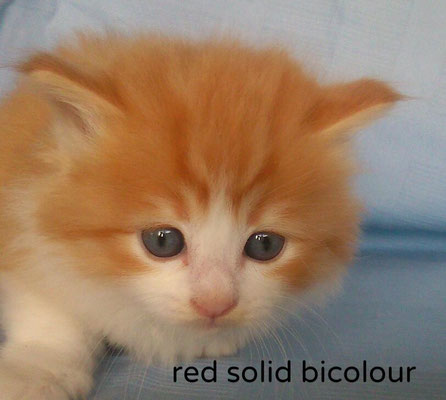 red solid bicolour