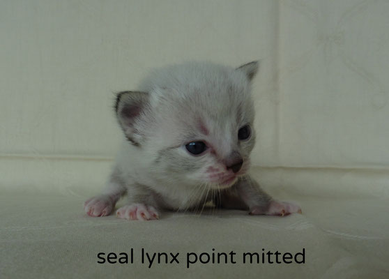 seal lynx point mitted