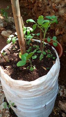 Angepflanztes Gemüse in Säcken