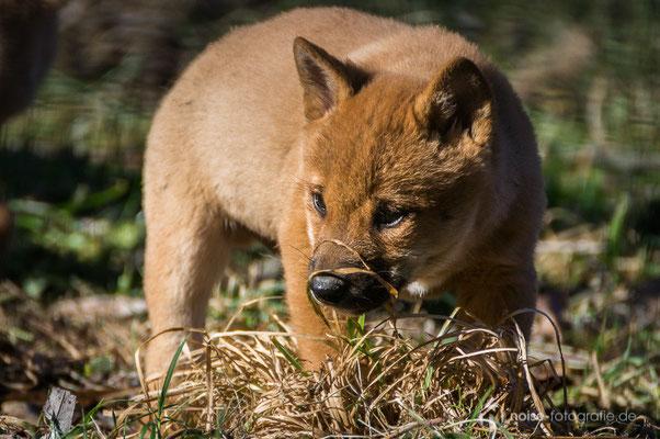 Dingo im Tierpark Gotha