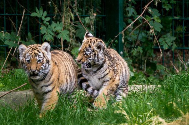 Tigerbaby im Tierpark Gotha 2014