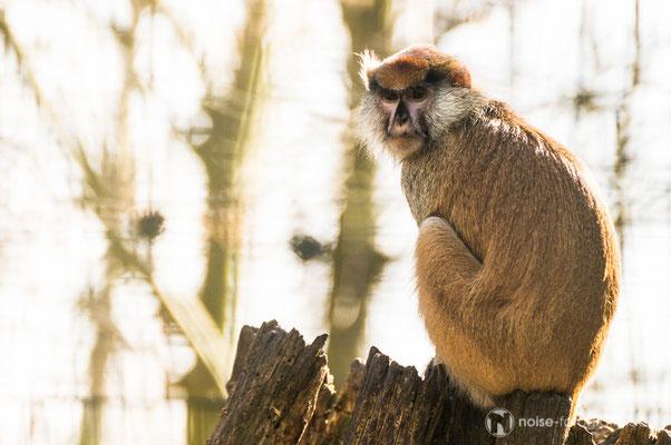 Husarenaffe im Tierpark Gotha
