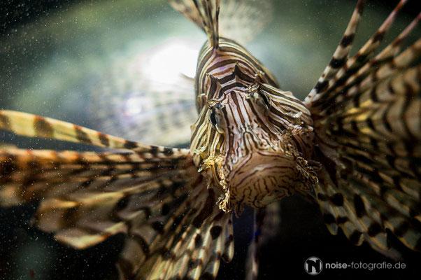 Tigerfisch im Sea Live Timmendorfer Strand