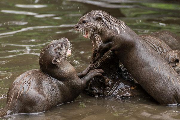 Otterkampf