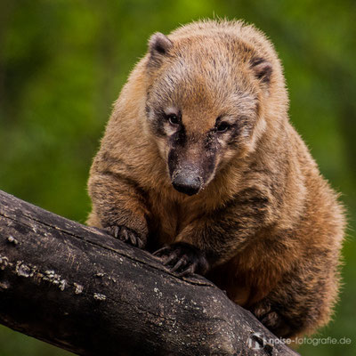 Nasenbär im Tierpark Gotha