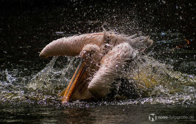 Pelikan im Tierpark Gotha