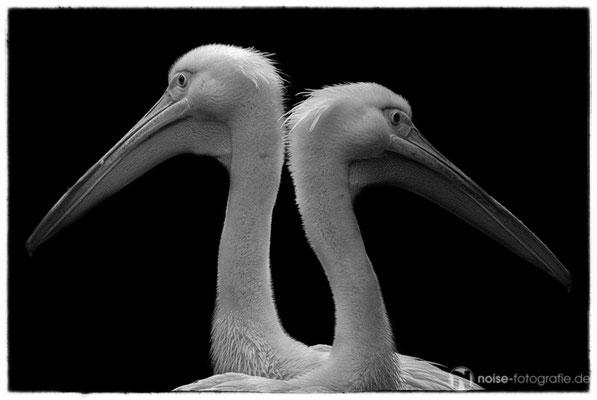zwei Pelikane im Tierpark Gotha