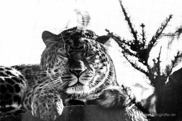 Leopard im Tierpark Gotha