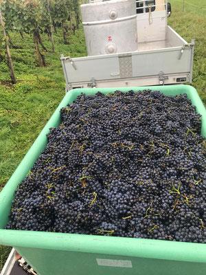 Frisch vom Rebberg kommen die Trauben direkt nach Neftenbach
