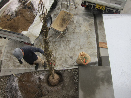 シデコブシを穴を掘って植える