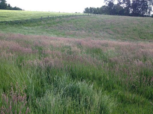 Emmerweg:Gras, das rot schimmert