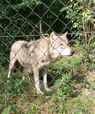 Wolf im Wildpark Weilbur