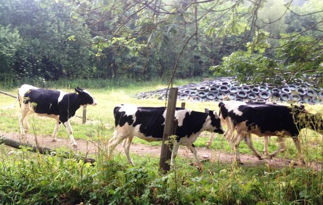 Rasende Kühe