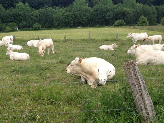 glückliche Kühe mit ihrem Bullen und Kälbern auf Sommerwiese-Urlaub