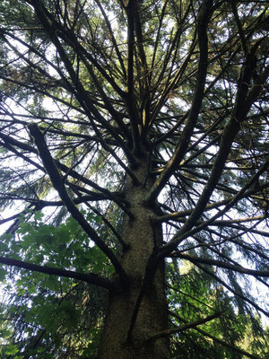 Rothaarsteig: mächtiger Nadelbaum
