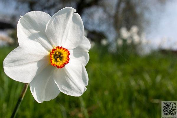 2014-04-06 Berlin - Botanischer Garten-Weisse Narzisse(Narcissus poeticus L.) 2014 009