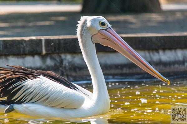2014-06-09 Berlin - Tierpark - Pelikan PS6 J-ZSM-FSG 2014 031