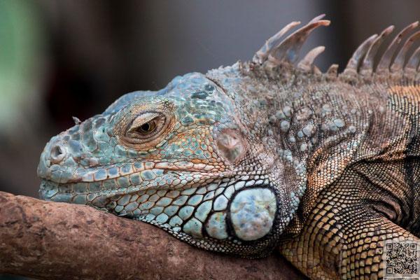 2014-06-09 Berlin - Tierpark - Grüner Leguan(Iguana iguana) PS6 J-ZSM-FSG 2014 030