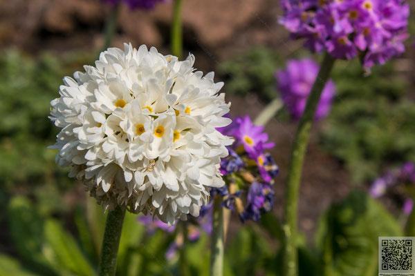 2014-04-06 Berlin - Botanischer Garten-Kugelprimel(Primula denticulata Sm.) 2014 008