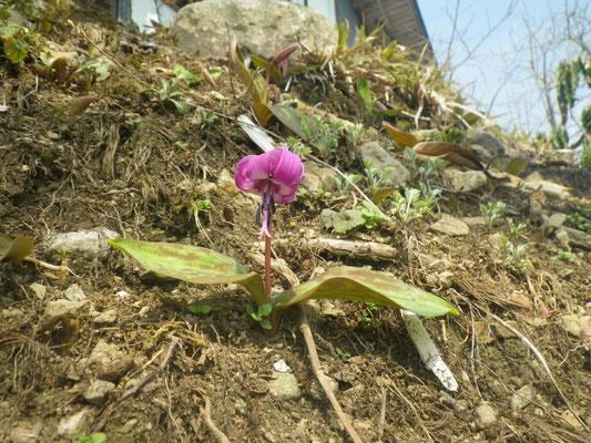 初咲きのカタクリを見つけました。