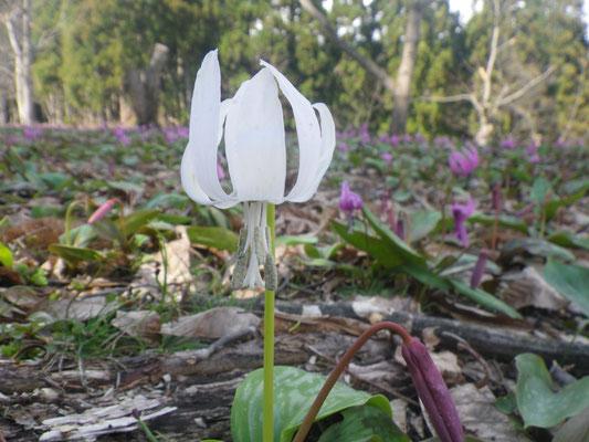 林間散策コース 白花カタクリ